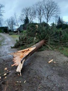 umgestürzter Baum, Fichte, auf Friedhof, Sturmschaden